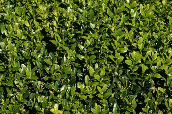 hedge image